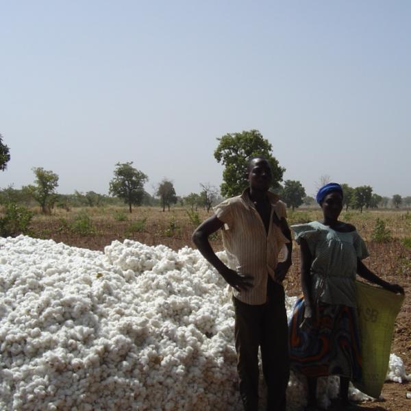 Le coton récolté est mis en tas