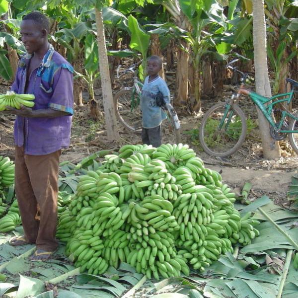 récolte de bananes