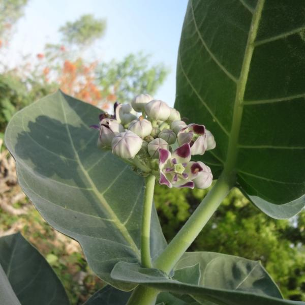 calotropis fleur
