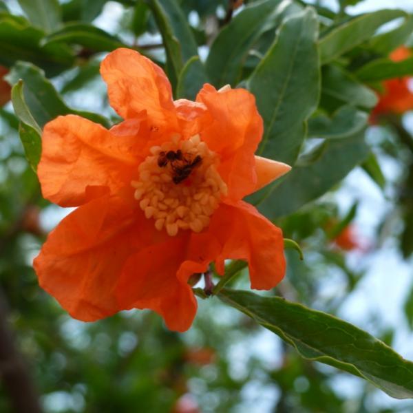 grenade fleur